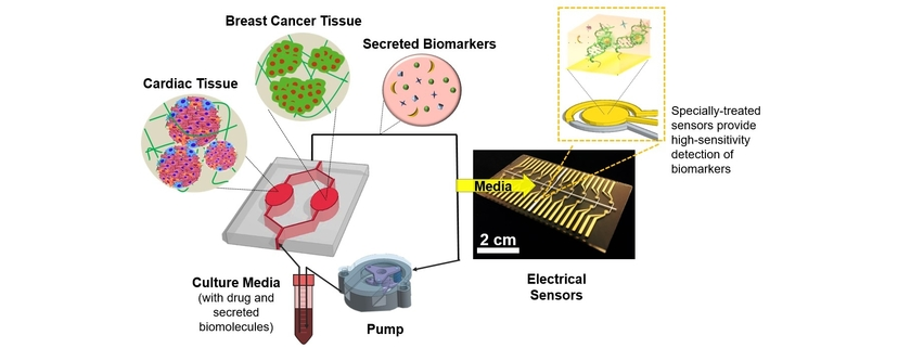 A Heart-Breast Cancer-on-a-Chip Monitoring System